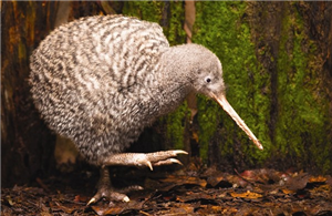 Atu Great Spotted Kiwi At Otorohanga Kiwi House And Native Bird Park