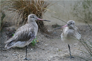 Eastern Bar Tailed Godwits At Otorohanga Kiwi House