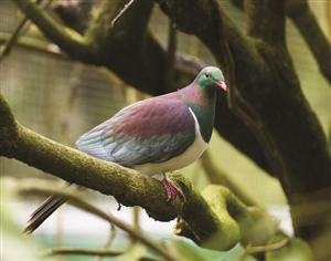 Kereru   Native NZ Pigeon At Otorohanga Kiwi House