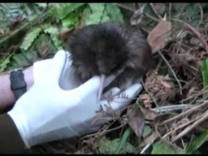 Newly Hatched Brown Kiwi