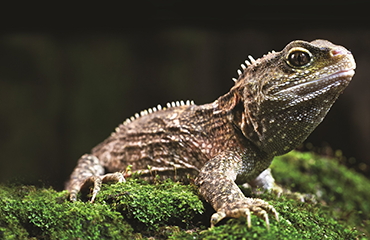 Tuatara are sometimes called