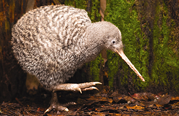 Great Spotted Kiwi,