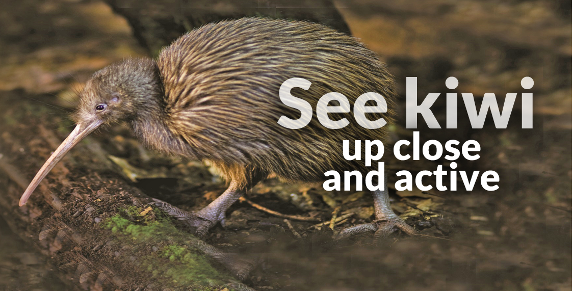 See Kiwi Up Close and Active - Otorohanga Kiwi House