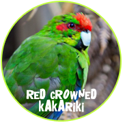 Adopt a Red Crowned Kakariki - Otorohanga Kiwi House